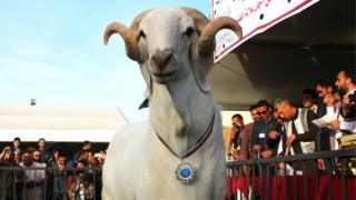 A sheep wearing a medal after winning a prize in a contest in Misrata, Libya.