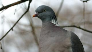 A wood pigeon stands in a tree