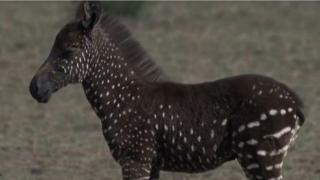 zebra na tufne