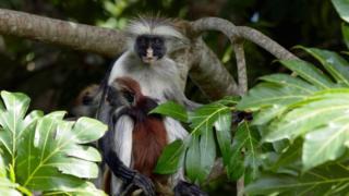 桑给巴尔的红疣猴