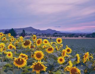 A wee field of sunflowers looking beautiful as the sun was going down in Kingskettle.
