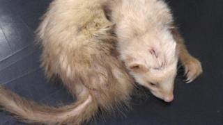 Injured Ferrett