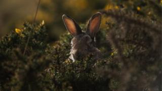 rabbit in the gorse