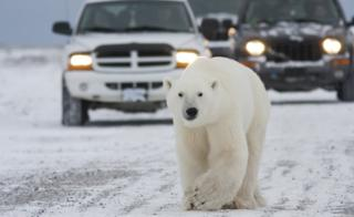 A polar bear walks on a road causing a traffic jam