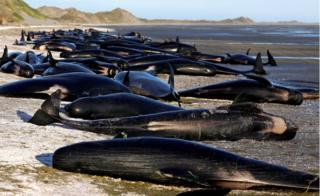 "Some of the hundreds of stranded pilot whales, marked with a small green ""X"" to indicate they have died, together on the beach in Golden Bay, at the top of New Zealand's South Island, 10 February 2017."