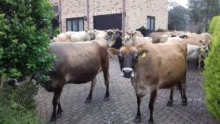 Cows in Maulden