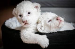 Two rare white lion cubs laying in their basket at the association Caresse de Tigre at La Mailleraye-sur-Seine, north western France
