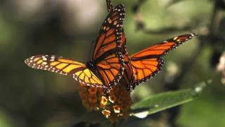 Monarch butterflies in California - archive picture