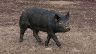 A black pig for field