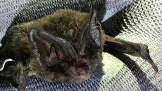 The Barbastelle bat