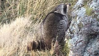 Raccoon spotted near Alladale Wilderness Reserve