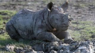 A baby rhino born December 2016 takes a mud bath at Port Lympne Reserve
