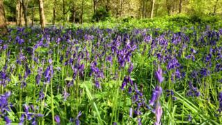 Bluebells at Harcourt Arboretum