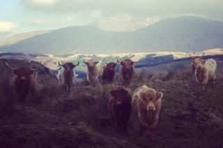 Ben Cruachan cows
