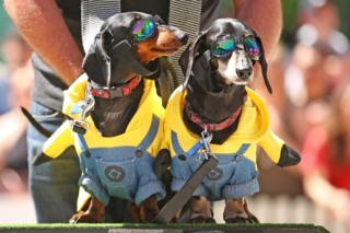 Dachshunds dressed as Minions characters