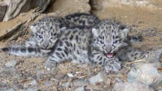 Juvenile snow leopards