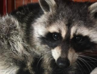 Raccoon found on rooftop