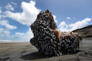 A large driftwood tree covered in gooseneck barnacles sits in the sun on Auckland's west coast