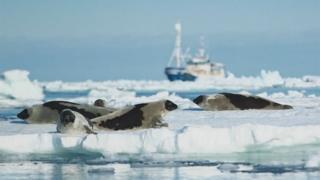 صيد حيوانات الفقمة في النرويج يواجه خطر الاندثار