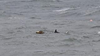 Trapped dolphin at Swanage