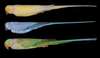 Rose-ringed Parakeets, Psittacula krameri
