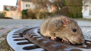 Пожарные спасли толстую крысу