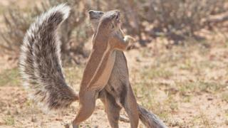 Cape Squirrels dancing together