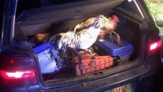 Car with chickens in it