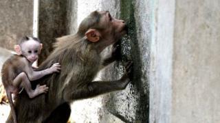 પાણી માટે વલખાં મારતાં વાંદરાંઓ
