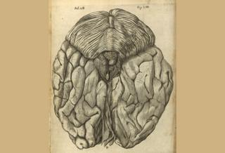 View of posterior brain, from De Hominem by Rene Descartes