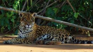 Onça no Parque Nacional Madidi