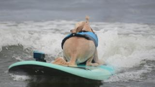 A dog surfing backwards