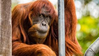 Puan drži rešetku u Zoo vrtu u Pertu