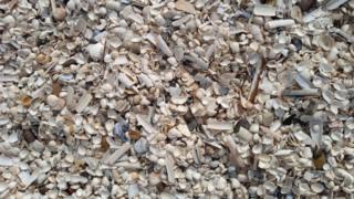 beautiful shells at Gullane Sands