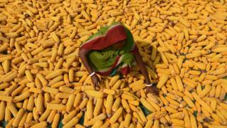 Maize is India's third most important cash crop after wheat and rice