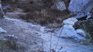 गौरीशंकर क्षेत्रमा 'क्यामेरा पासो'मा परेको हिउँचितुवा