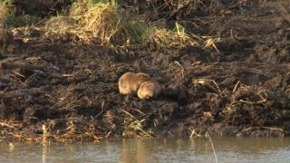 Beavers at Mytishchi, Moscow