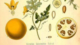 Колоцинт, ботаническая иллюстрация