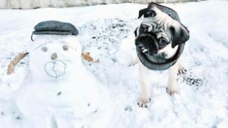 Pug next to a snow dog that resembles him