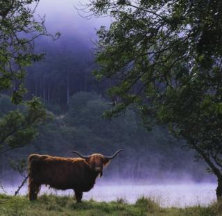 Highland cow near Tyndrum