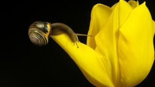 тюльпан и улитка