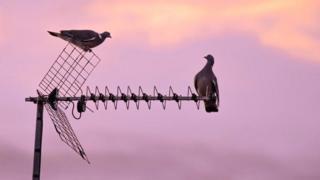 Pigeon on aerial