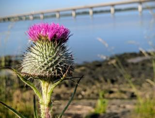 jaggy thistles