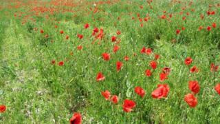 Poppies in Longhoes field