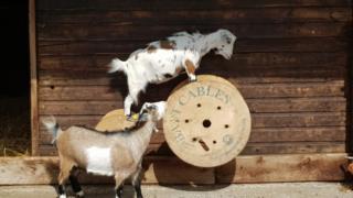 Goats at Graves Park Animal Farm