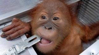 Детеныш орангутанга, обнаруженный в аэропорту Денпасар 23 марта 2019 года