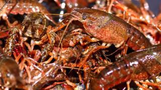 چین یکی از مهمترین مراکز پرورش شاه میگو و خارچنگ است
