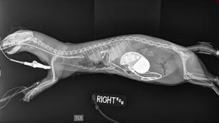 A radiograph shows the implantation of a pacemaker in the abdomen of a ferret at Kansas State University's Veterinary Health Center in Manhattan, Kansa, 31 January, 2017