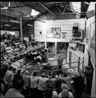 Cattle in Bandon Mart surrounded by crowds of people
