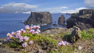 sea thrift in flower